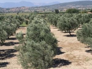 Pertanian adalah industri utama di Turkey. Gambar menunjukkan ladang Pokok Zaitun